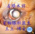 狗先天性白内障超声乳化术