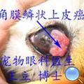 狗角膜溃疡鳞状上皮癌