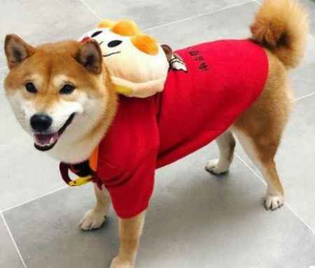 北京纯正柴犬销售电话